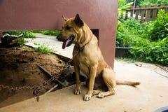 Hund på ett chain sammanträde royaltyfri fotografi