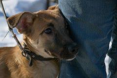 Hund på ett koppel Arkivbild