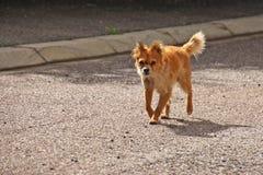 Hund på gatan Royaltyfri Fotografi