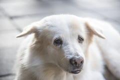 Hund på golvet Royaltyfria Foton