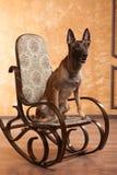 Hund på gungstolen royaltyfria foton