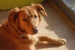 Hund på inomhus arkivbild