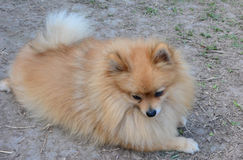 Hund på jordning Arkivbilder