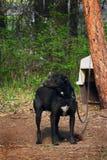 Hund på kedja Royaltyfri Foto