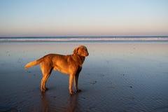 Hund på kusten av Sidi Kaouki, Marocko, Afrika skjuten solnedgångtid för exponering long Marockos fantastiskt bränningstad arkivbild