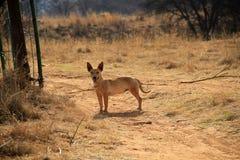 Hund på lantgårdporten Arkivfoto