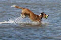 Hund på lek royaltyfria bilder