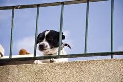 Hund på madeira arkivbild