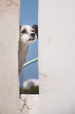 Hund på Santorini, Grekland Arkivfoto