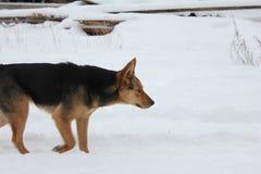 Hund på snowen Arkivbilder