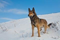 Hund på snowen Arkivbild