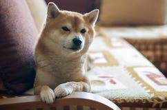 Hund på soffan arkivbild