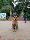 hund på soitheptemplet arkivfoto