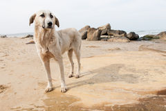 Hund på stranden Royaltyfria Bilder