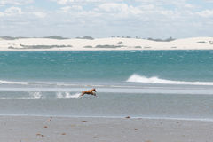 Hund på stranden Arkivfoton