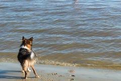 Hund på stranden som ser till havet i Uruguay arkivbilder