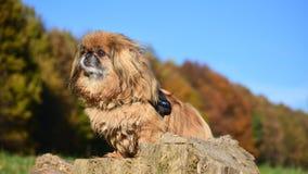 hund på stubbe Fotografering för Bildbyråer