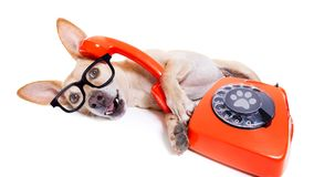 Hund på telefonen royaltyfri bild