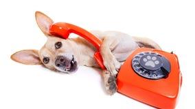 Hund på telefonen royaltyfria bilder
