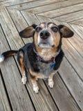 Hund på trädäck Arkivfoton