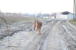 Hund på vägen Arkivfoto