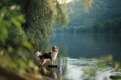 Hund på vattnet Sommar med ett husdjur Australisk herde på floden arkivbild