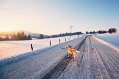Hund på vintervägen arkivfoton