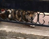 Hund - pålitlig vakt Royaltyfri Foto