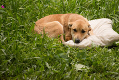 Hund på kudden Arkivbild