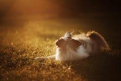 Hund p? solnedg?ngen Husdjuret f?r g?r i natur Gr?nsa collien royaltyfri bild