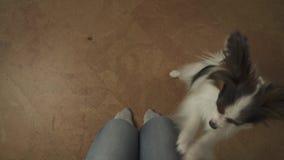 Hund Papillon klatscht seine Tatzen auf den Knien seines Meisters, der um Festlichkeitsvorrat-Gesamtlängenvideo bittet stock footage