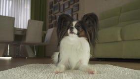 Hund Papillon liegt auf der Wolldecke und schaut herum im Wohnzimmervorrat-Gesamtlängenvideo stock video