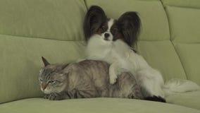 Hund Papillon liegt auf Katzenvorrat-Gesamtlängenvideo stock footage