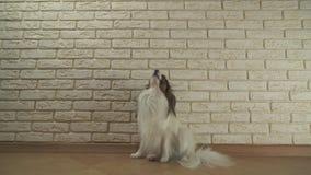 Hund Papillon sitzt Gegähne und wendet sich herum gegen dekoratives Backsteinmauervorrat-Gesamtlängenvideo stock footage