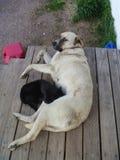 Hund pflegt Katze Stockbild