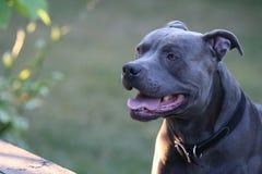 Hund Pitbull Arkivbild