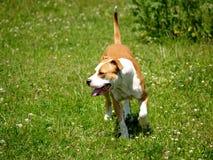 Hund Pitbull Stockfotografie