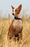 Hund-podenco Lizenzfreie Stockfotos
