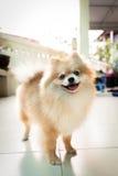 Hund pomeranian Lizenzfreie Stockfotografie