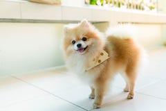 Hund pomeranian Lizenzfreie Stockfotos