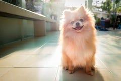Hund pomeranian Lizenzfreie Stockbilder