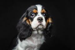 Hund-puppie Stockfoto