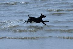 hund quick royaltyfria bilder