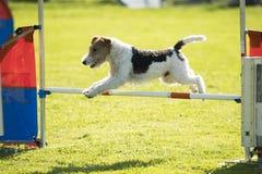 Hund rävtrådhår som hoppar över vighethäck Royaltyfri Foto