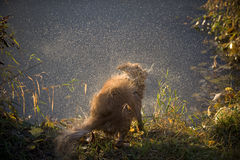 Hund rüttelt Wasser weg Stockfoto