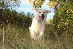 Hund-retiever stockfotografie