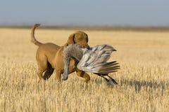 Hund Retreiving ein Sandhill Kran stockfotografie
