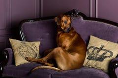 Hund Rhodesian Ridgeback, der auf einem Sofa sitzt lizenzfreies stockbild