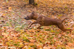 Hund Rhodesian Ridgeback läuft auf Autumn Leaves Ground Stockbild