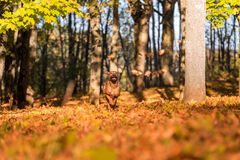 Hund Rhodesian Ridgeback läuft auf Autumn Leaves Ground Stockfotos